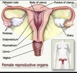 illustration of a fertile and healthy uterus