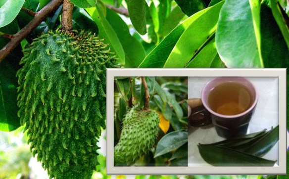 Here are some natural foods that can be avoided breast cancer Soursop leaf