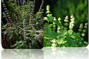 Basil Leaves (Ocimum Citriodorum)