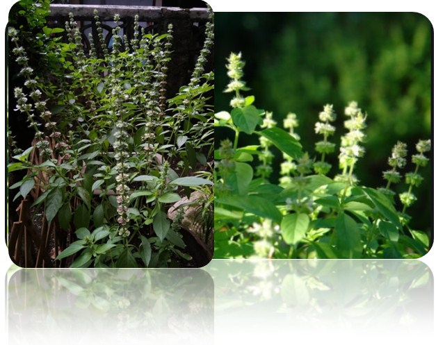 Photo of 5 Benefit Of Basil Leaves (Ocimum Citriodorum) For Health